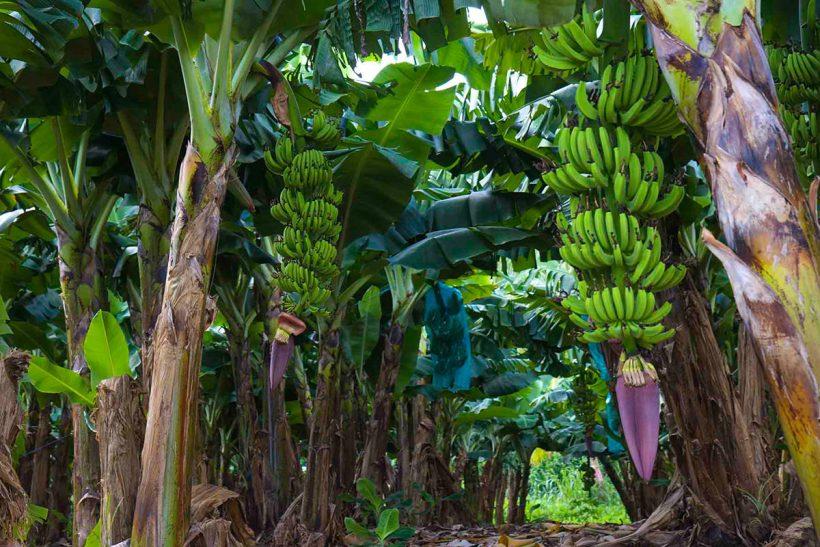 Martinique_1_Čudovita plantaža banan na otoku Martinique