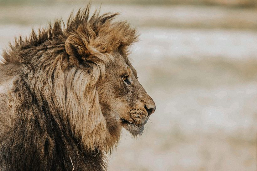 Hisa Potovanj J Afrika Zivali 64 Lev 1