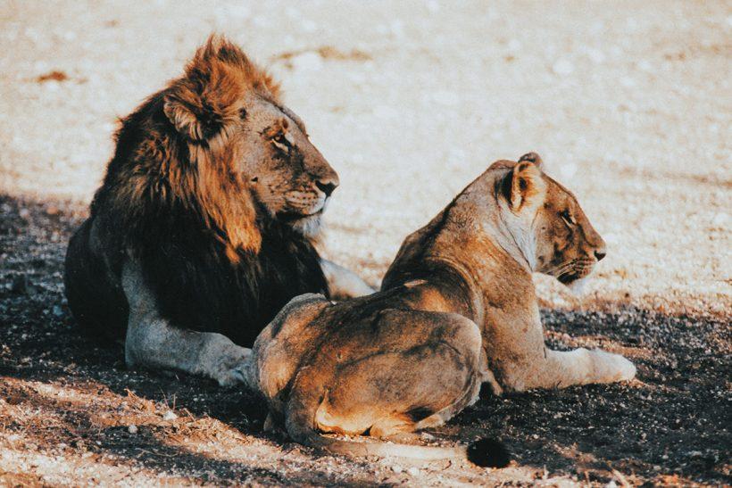 Hisa Potovanj J Afrika Zivali 67 Levji Par
