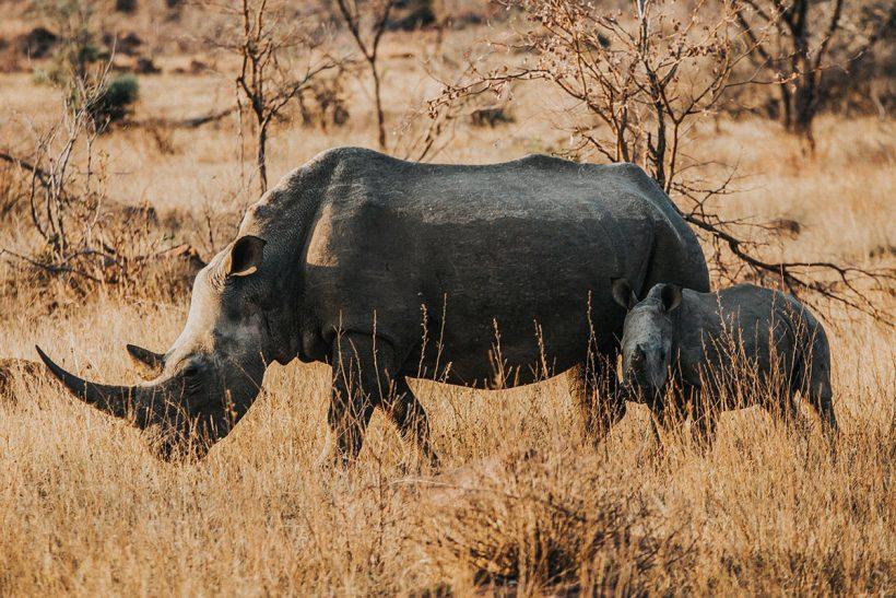 Hisa Potovanj J Afrika Zivali 68 Nosorog Z Mladicem