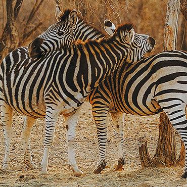 Hisa-potovanj_J_Afrika_zivali_69_zebra-objem-kvadrat
