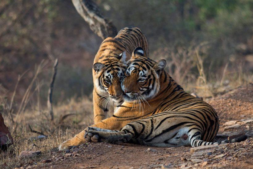 Hisa Potovanj Indija Ranthabore 2005 Tiger 2