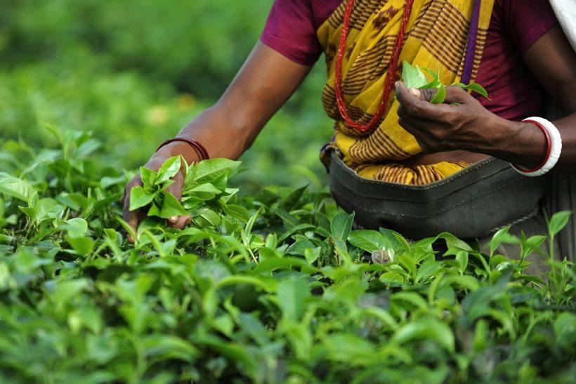 Indian Tea Garden Workers Pluck Tea Leav…Indian Tea Garden Wor