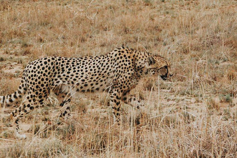 Hisa Potovanj J Afrika Zivali 50 Gepard
