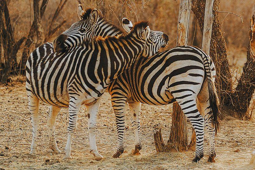 Hisa Potovanj J Afrika Zivali 69 Zebra Objem